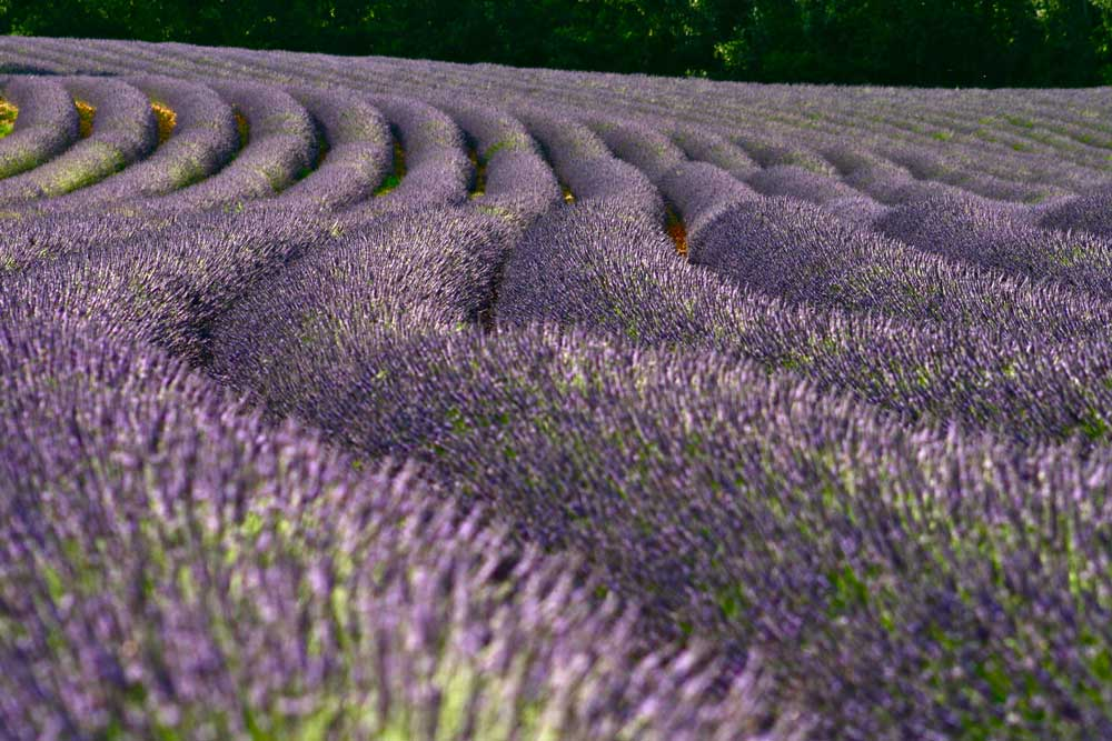 Winding rows of lavender growing in a field.